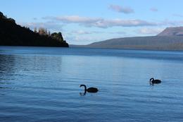 black swans on Lake Tarawera , Heather F - July 2017