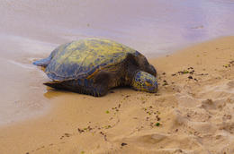 Sea Turtle @ Turtle Beach , Apoetess - June 2012