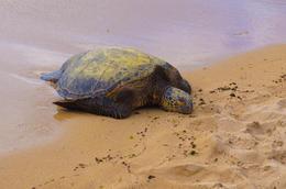 Sea Turtle @ Turtle Beach , Apoetess - June 2012