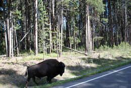 A Bison taking to the road to catch up with his herd. , Paul R - August 2016