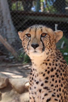 One of the beautiful Cheetah's we encountered while at the Cango Wildlife Ranch , Tahlia P - March 2014