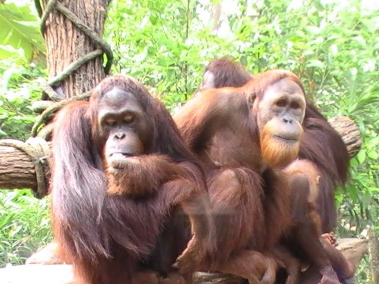 Orangutangs - Singapore