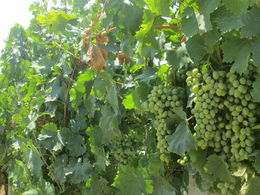 Grapes under July Tuscan sun. , Nilanjan S - September 2015