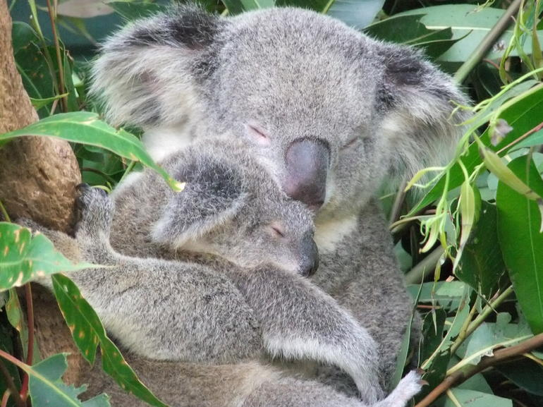 koala mum and baby - Brisbane