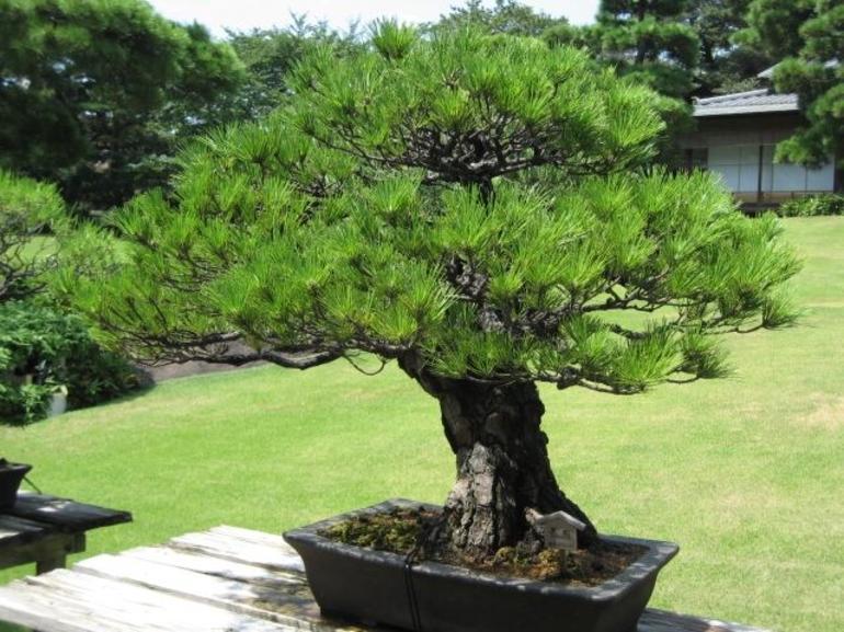 Bonsai Tree - Tokyo