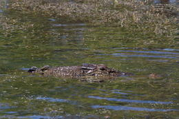 One of the many crocodile spotted on Yellow Water Cruise , Judi Scott - September 2013