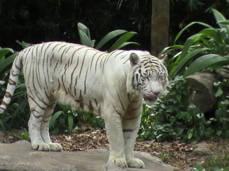 White Tiger - Singapore