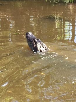 This gator came to our airboat and ate marshmallows tossed to him by our boat captain! , joy s - June 2016