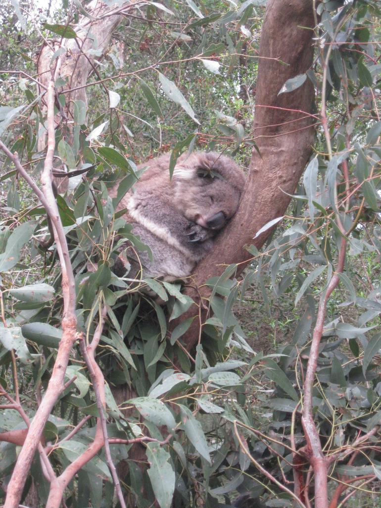 Old Koala - Melbourne