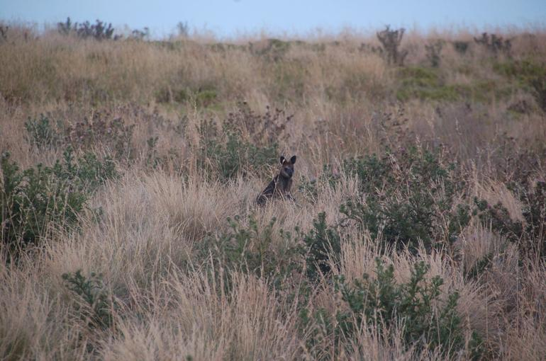 Wallaby - Melbourne