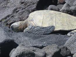 Sea Turtle on Black sand beach. , Onni H - June 2017