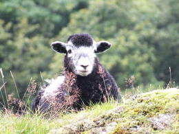 The famous Herdwick sheep that Beatrix loved. , Alan S - September 2017