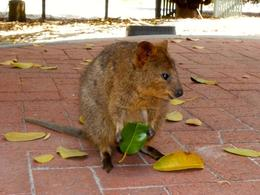 Quokkas are so cute. This picture was taken outside Rottnest Lodge , Sarah H - December 2013