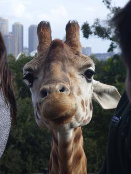 Giraffe at Taronga - 23 July 2011 , Zoo Friend - July 2011