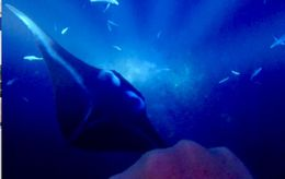 My husband took this photo with our GoPro when a beautiful, big manta swam right under us and caught us by surprise. Gorgeous, gentle creatures! , Nicole L - August 2016