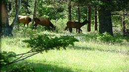 A total of seven Elk passed us at one point during the tour. Here were three of them. , William W - July 2012