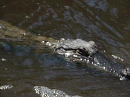 This is one of the larger gators we saw on the tour! , Susan J - April 2014
