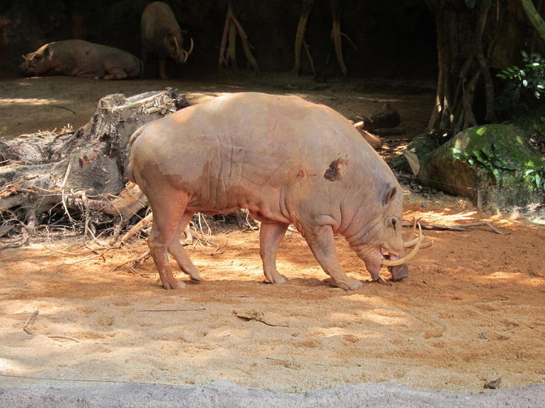 What on earth is a BABIRUSA?? - Singapore