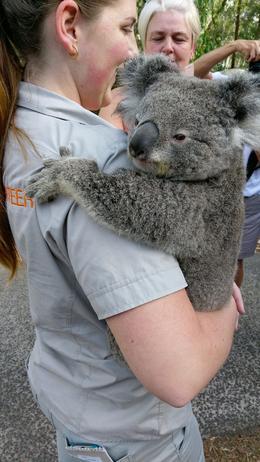 Petting a nervous koala , dmswitzer1325 - December 2016
