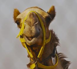 Camel - July 2013
