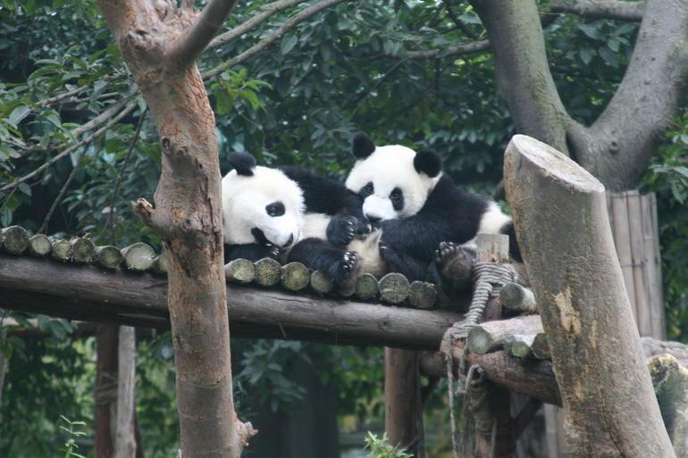 chengdu pandas 1.JPG - Beijing