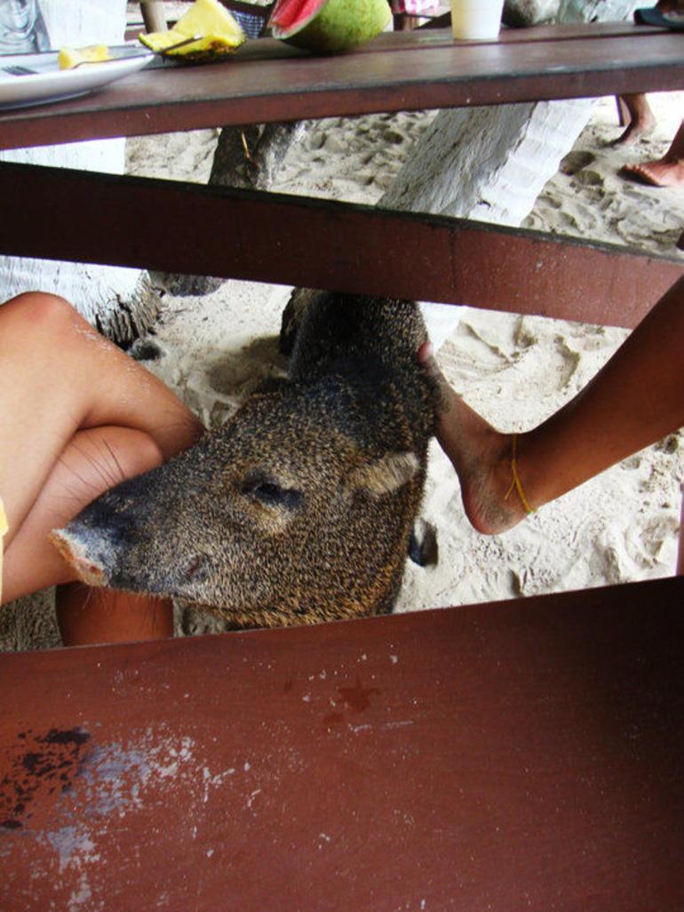 Isla Tortuga's Pet Pig - Jaco