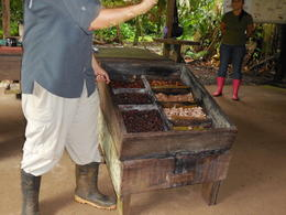 Stages of cacao beans fermentation , Alexandru T - December 2013