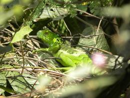 Green Iguana in tree en route to Park , Britt B - May 2013