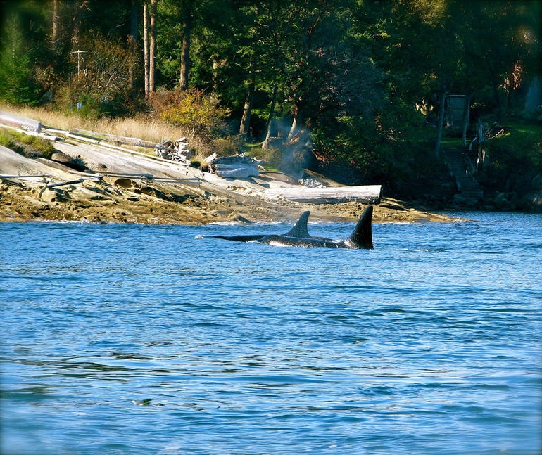 Orcas in the Strait of Georgia - Vancouver