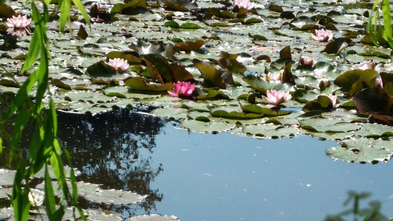 Lots of water lilies! - Paris