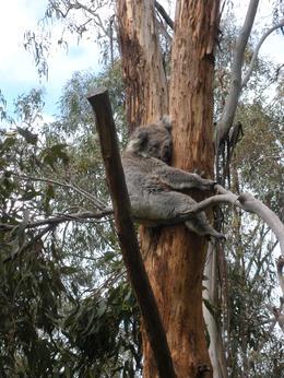 """"""" special friend"""" Koala Park, Christine C - November 2010"""