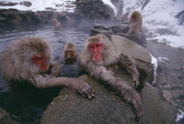 Monkeys come to Zigokudani to warm themselves in hot spring water - May 2013