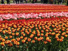 Keukenhof Gardens-7 million tulips !! , Marty L - May 2015