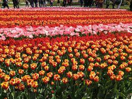 Keukenhof Gardens-7 million tulips !! , Marty L - May 2015