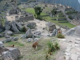Llamas grazing amongst the ruins of Machu Picchu., Bandit - December 2010