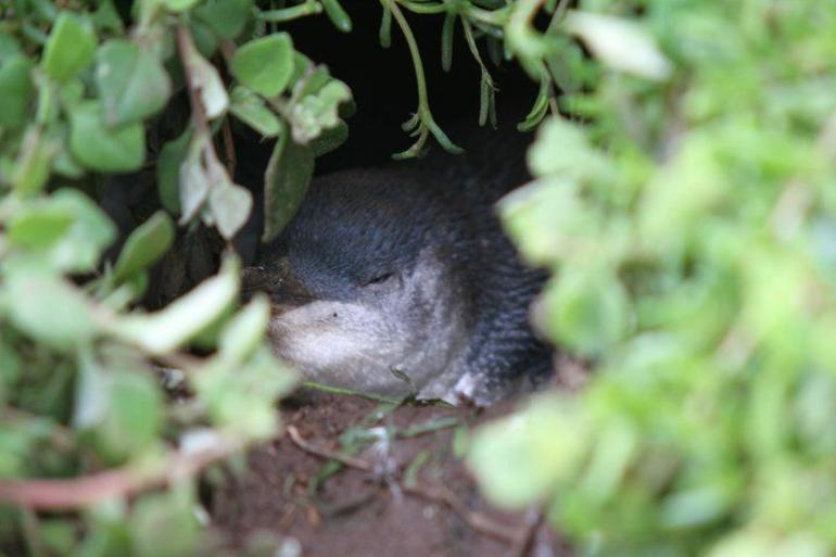 Penguin sleeping - Melbourne