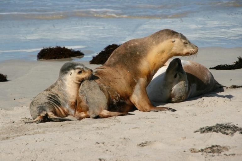 Australian Sea Lions -