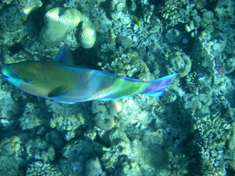 Colourful fish, snorkeling at Ras Mohamed, Red Sea, Egypt - Sharm el Sheikh