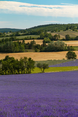 Provence Lavender Field , Kari V - July 2015