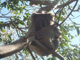 Local friendly koala , Pauline G - August 2011