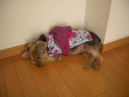 Yayo's little dog Akane Chocolat I, dressed in Yukata , Ben - November 2015