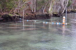 Dozens of manatees sleeping , Eva C - February 2011