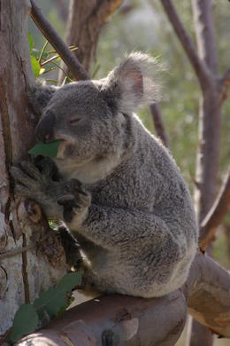 The elusive Koala - apparently they sleep for 23 hours of the day!! , Sharon L - September 2013