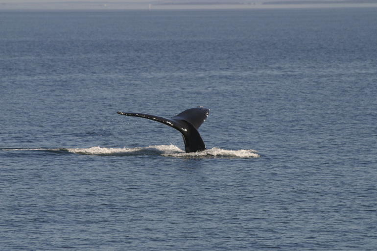 Whale Watching - Vancouver