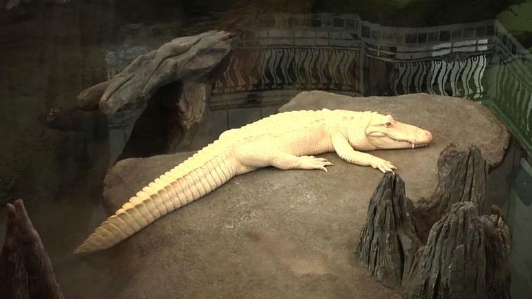 Albino Croc - San Francisco