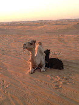 On our desert drive, we saw 2 camels! , Charlene L - January 2014