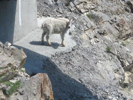 Mountain sheep under the Glacier Skywalk 7-25-2017 , Paula M - July 2017