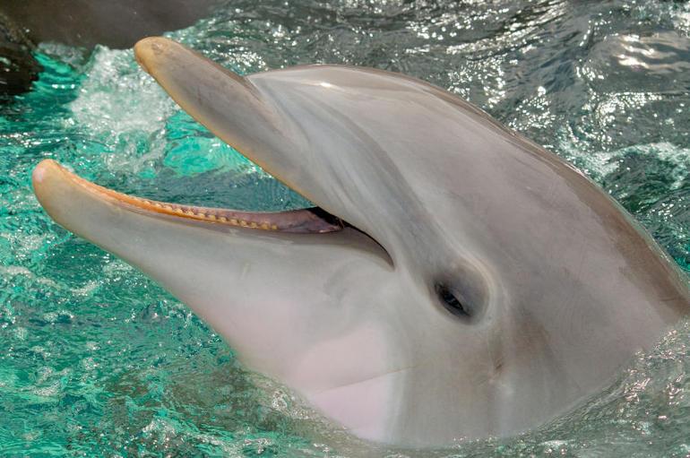 Bottlenose Dolphin in SeaWorld, Orlando - Orlando