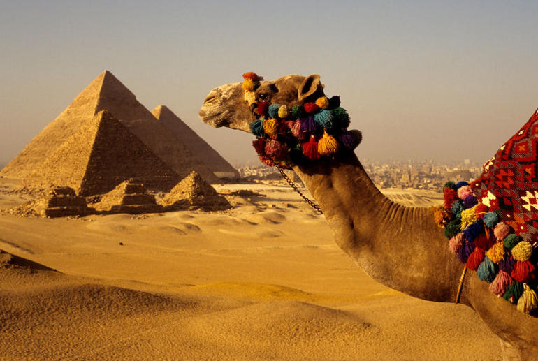 Egyptian camel and the Great Pyramids of Giza - Cairo