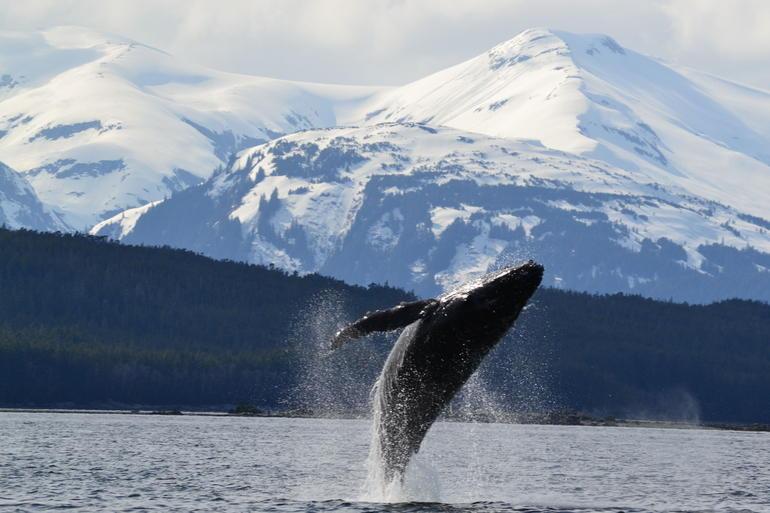 Humpback whale breaching near Auke Bay, AK - Juneau